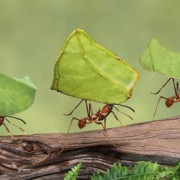 Leaf-cutter ants move fast and hold up under weight