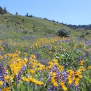 The Wenatchee Foothills will be graced by thousands of wildflowers, including balsam root and lupine, when the Horse Lake Trail Runs take place on May 10.