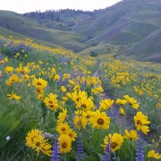 The Wenatchee Foothills are full of wildflowers as this scene captured last week by Molly Cooper Steere attests.